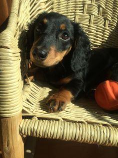 #teckel #dachshund #perrosalchicha #dog #golondrino
