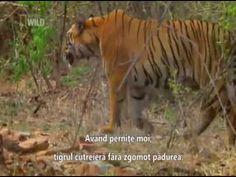 INDIA    DOCUMENTARY    WILD    TIGERS