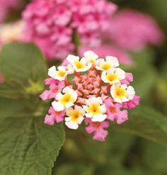 Lantanas grow well in hot weather. So if you were late planting this spring, try some of the Landmark and Lucky Series lantanas, which bloom prolifically.  'Lucky Honey Blush' (shown here) has flowers that are multi-hued and will work well in any garden. myhomeideas.com