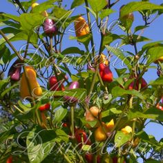 #Heirloom #Chinese Five Color Hot #Pepper #Seeds by #AzureDandelion #ArtFire