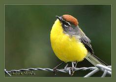 Brown-Capped Whitestart, Myioborus brunniceps, New World Warbler. Bolivia / NW Argentina - CLB Chim Cảnh Lan Anh