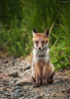 Red Fox by Alex Drangovsky