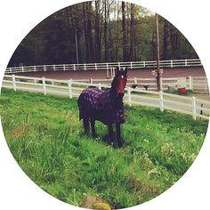 Not a happy Hackney #hackneyhorse #hackney #horsebackriding #horse #horses #horsesofinstagram #horseoftheday #instahorse #instagramhorses #petoftheday #petsofinstagram #instapets #ilovemyhorse #equestrian #equestrianlife #horselove