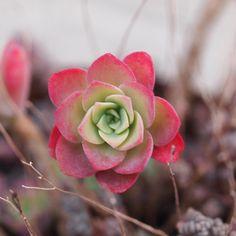 #多肉植物  #セダム  #薄化粧  #植えっぱなし  #可愛い  #succulent  #sedum  #palmeri by c_halu