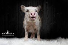 #pig #minipig #animals