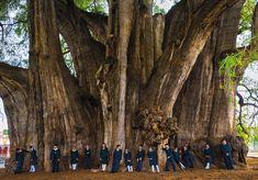 "Montezuma cypress, ""el Árbol del Tule"", The Widest Tree in the World, Oaxaca, Mexico : marijuanaenthusiasts Giant Tree, Big Tree, Francis Hallé, Le Baobab, Weird Trees, Unique Trees, Trees Beautiful, Old Trees, Amazing Nature"