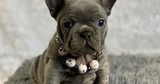 Reputable breeders, purebred french bulldog puppies for sale. AKC champion bloodlines, Vet checked, current on shots. Home raised and potty trained Frenchie Puppies For Sale, French Bulldog Breeders, Cute Bulldogs, Bulldog Puppies For Sale, French Bulldogs, Dog Love, Puppy Love, Puppy Names, White Wood