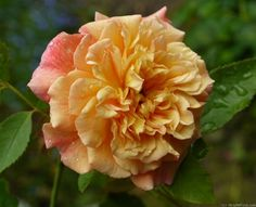 'Aloha ' Rose by HelpMeFind.com user Eugene V.