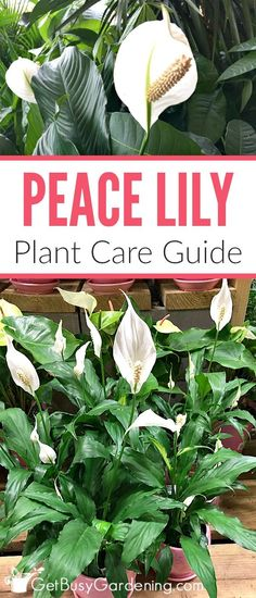 garden care tips Peace lilies are easy to grow houseplants that thrive indoors. these simple peace lily plant care tips to keep your plant thriving year round. Peace Lily Plant Care, Peace Plant, House Plant Care, House Plants, Garden Plants, Potager Garden, Fruit Garden, Lilly Plants, Indoor Vegetable Gardening