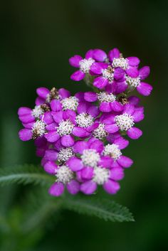 Chinese yarrow