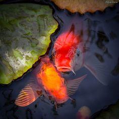 animals, gardening, nature and tagged animals, carp, colorful, cute, fish, gardening, koi, lilypad, nature photography, photography, pond, water, water garden