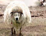 Hình ảnh chú cừu đội mũ lính nghịch ngợm rất đáng yêu