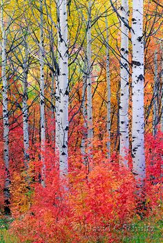 🇺🇸 Maple and aspen trees in the fall (Wasatch Mountains, Utah) by David C…. 🇺🇸 Maple and aspen trees in the fall (Wasatch Mountains, Utah) by David C. Watercolor Landscape Paintings, Watercolor Trees, Landscape Art, Autumn Scenery, Autumn Trees, Tree Photography, Landscape Photography, Photography Guide, Autumn Photography