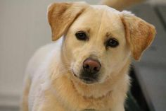 NAME: Avery  ANIMAL ID: 24707696  BREED: Retriever  SEX: female-spayed  EST. AGE: 2 yr  Est Weight: 51 lbs  Health: heartworm neg  Temperament: dog friendly, people friendly.  ADDITIONAL INFO: owner turn in- escapes  RESCUE PULL FEE: $49