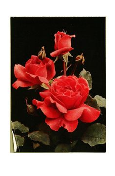 The rose book, a complete guide for amateur ros...(Rose General McArthur [hybrid tea rose])