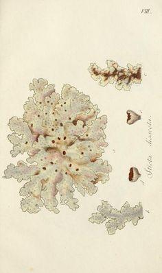 Lichenes Americani : - Biodiversity Heritage Library