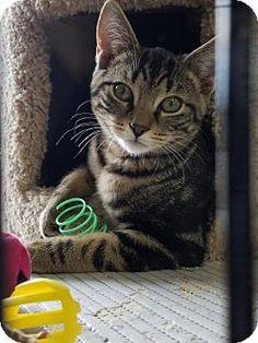 Philadelphia, PA - Domestic Shorthair. Meet Faye, a kitten for adoption. http://www.adoptapet.com/pet/16971213-philadelphia-pennsylvania-kitten