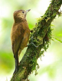 Pica-Pau-Marrom-Escuro ( Picoides fumigatus ) ( Fêmea ) Argentina, Belize, Bolívia, Colômbia;, Costa Rica, Equador, El Salvador, Guatemala, Honduras, México, Nicarágua, Panamá, Peru, Venezuela