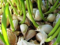Bármennyire is meglepő lehet, de igaz - a fokhagyma a legsokoldalúbb zöldségféle, még a kertben is felhasználhatod a fokhagymát, a most következő cikkben elmondom, hogyan!