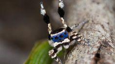 Nieuwe spinnensoort met kleurrijk 'masker' ontdekt in Australië | NU - Het laatste nieuws het eerst op NU.nl