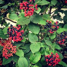 Viburnum lantana - Wayfaring tree; Zone 4; H:10-15; W:10-15ft