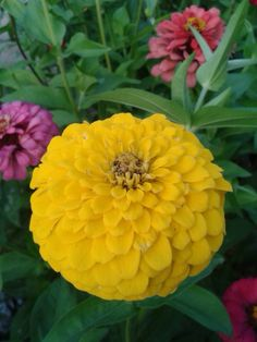 Zinnia elegans yellow