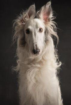 Silken Windhound Photographer:Paul Croes