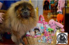 87 Best Chow Chow Rescue Society images in 2019 | Chow chow