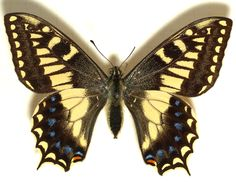 """http://upload.wikimedia.org/wikipedia/commons/c/cf/Papilio.hospiton.mounted.jpg La specie risulta filogeneticamente affine al Macaone (Papilio machaon), da cui si discosta per la presenza di """"code"""" più corte sulle ali posteriori e per le macchie rosse più ridotte sulle pagine superiori delle ali posteriori. Nella pagina inferiore delle ali anteriori. Gli adulti ricordano alcune specie di Papilionidi arcaici rinvenibili sull'Himalaya."""