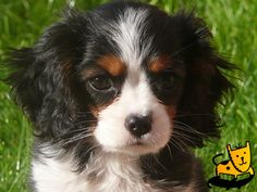 Cavalier King Charles Spaniel- thinking about a tri color like this to go with our Blenheim?