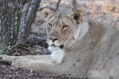 Beautiful lioness - Entabeni Game Park, South Africa