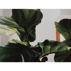 dark green leaves from a plant Ficus, Fiddle Leaf Fig Tree, Urban Nature, Outdoor Plants, Potted Plants, Botany, Houseplants, Garden Landscaping, Plant Leaves