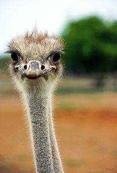 Struisvogel boerderij, Ostrich farm