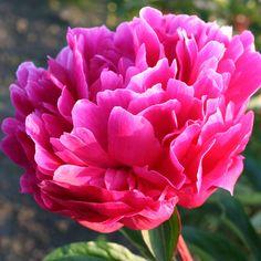 Paeonia Red Sarah Bernhardt