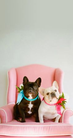 Cute French bulldogs bows pink  iphone wallpaper background phone lock screen