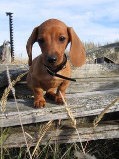 Baby Dachshund Bree on the Farm.