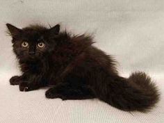 KATE - A1122656 - - Manhattan  ***TO BE DESTROYED 08/24/17*** A ROYAL RESCUE IS NEEDED FOR CHARLES, CAMILA, WILLIAM AND KATE TONIGHT!!! Four kitten siblings were abandoned along with their mom cat ELIZABETH A1122652 who is not listed tonight.  All four are a bit frightened and need a home where they can relax and regroup.  Please consider adopting one or more of these adorable kittens!  Let it be a royal rescue – not a royal flush tomorrow at the shelter!!  MUST RESER
