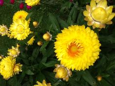 Yellow strawflower.