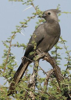 """Southern African Grey Go-away-bird (Corythaixoides concolor) An adult perched on an acacia tree. Has a distinctive loud alarm call sounding like """"go away"""""""