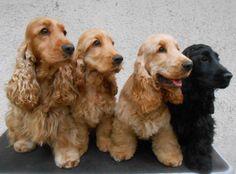 CH Costopa's Mr Woodman at Zahircocker (Liam) e i suoi tre figli Zahircocker Be Here Now (Junior), I Hope I Think I Know (Pedro) e Don't Go Away (Rosie) - Zahircockers