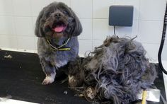 Bobby the Lhasa Apso can wag his tail again after 1lb of matted fur shaved off   by workers at Dogs Trust in Snetterton, Norfolk Anyone wanting to give Bobby a home can phone the centre on 0300 003 0292.