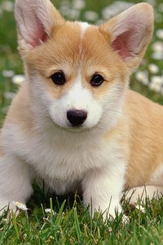 Corgi Puppy Pictures Welsh ballad says the corgi is the adopted arise of bogie warriors. Baby Corgi, Cute Corgi Puppy, Corgi Dog, Pet Dogs, Akita Dog, Welsh Corgi Pembroke, Small Puppies, Cute Puppies, Dogs And Puppies