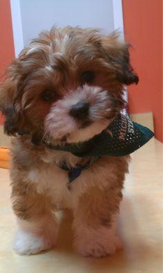 #teddybeardog #zuchon #shichon This is Bodhi!