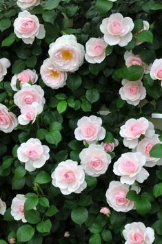 Gorgeous Rose Garden Ideas On This Year To Try Asap Awesome 88 Gorgeous Rose Garden Ideas On This Year To Try Asap.Awesome 88 Gorgeous Rose Garden Ideas On This Year To Try Asap. Small Rose Garden Ideas, Rose Garden Design, Garden Wallpaper, Flower Wallpaper, Beautiful Roses, Beautiful Gardens, Pink Roses, Pink Flowers, Growing Roses