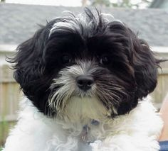 Shipoo - This image is so close to my dear pup. Love -Love-Love our little Cleo!!