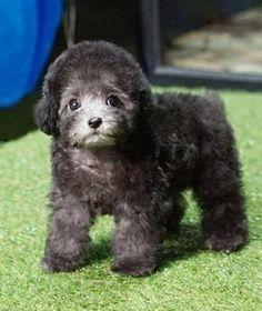 Elson3 Teacup Poodles For Sale, Toy Poodles For Sale, Poodle Puppies For Sale, Mini Poodles, Toy Puppies, Cute Puppies, Poodle Puppy Miniature, Mini Poodle Puppy, Teacup Poodle Puppies
