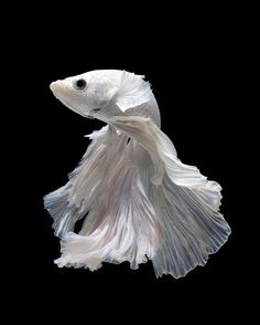 Betta fish are often considered to be among the heartiest sort of fish one can purchase, but great betta fish care is essential to a long and happy life. Colorful Fish, Tropical Fish, Beautiful Creatures, Animals Beautiful, Betta Fish Care, Beta Fish, Siamese Fighting Fish, Paludarium, Ocean Creatures