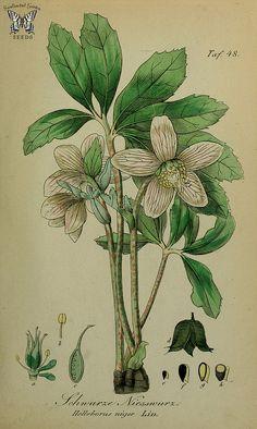 Christmas Rose. Helleborus niger. Sammtlich Giftgewache Deutschlands (1854)