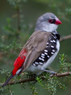 Diamond Firetail Finch