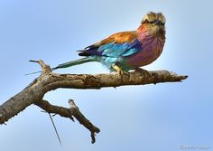 """""""Photo happy"""" Lilac-breasted rollers are one of the most photographed birds in the world and are widely distributed in the open woodlands and savanna of subSaharan Africa and the S Arabian Peninsula. (Martin Heigan)"""